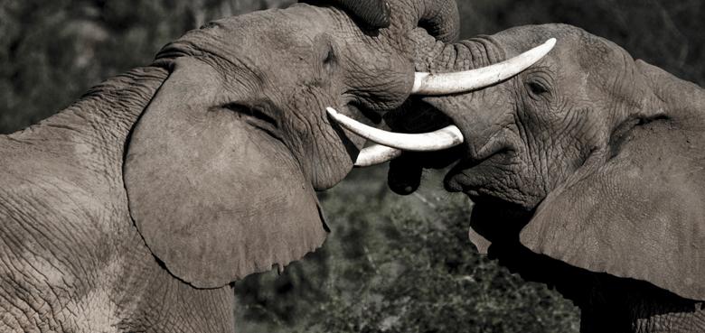 ExploreSafaris_Elephant1