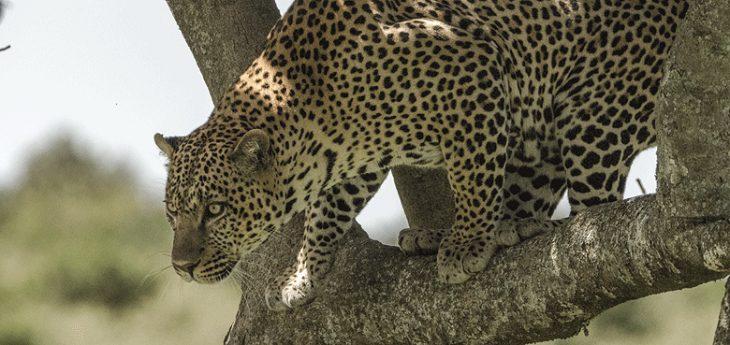 ExploreSafaris_leopard1